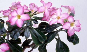 Адениум – цветущий бонсай