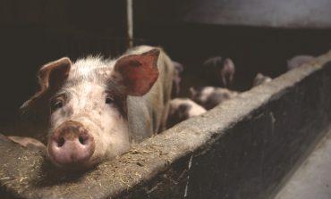 Чиновник свинье не товарищ? Чем грозит массовая гибель