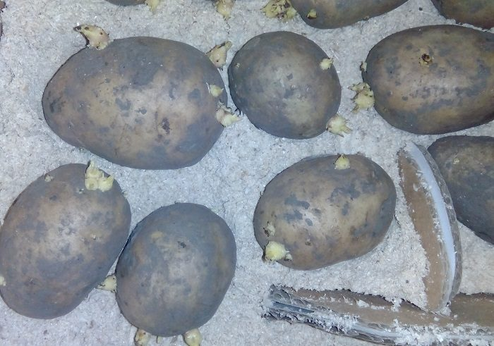 урожай картофель фото