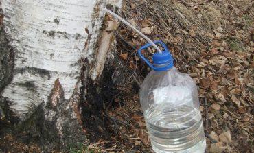 Березовый сок в Хабаровском крае - когда и как собирать