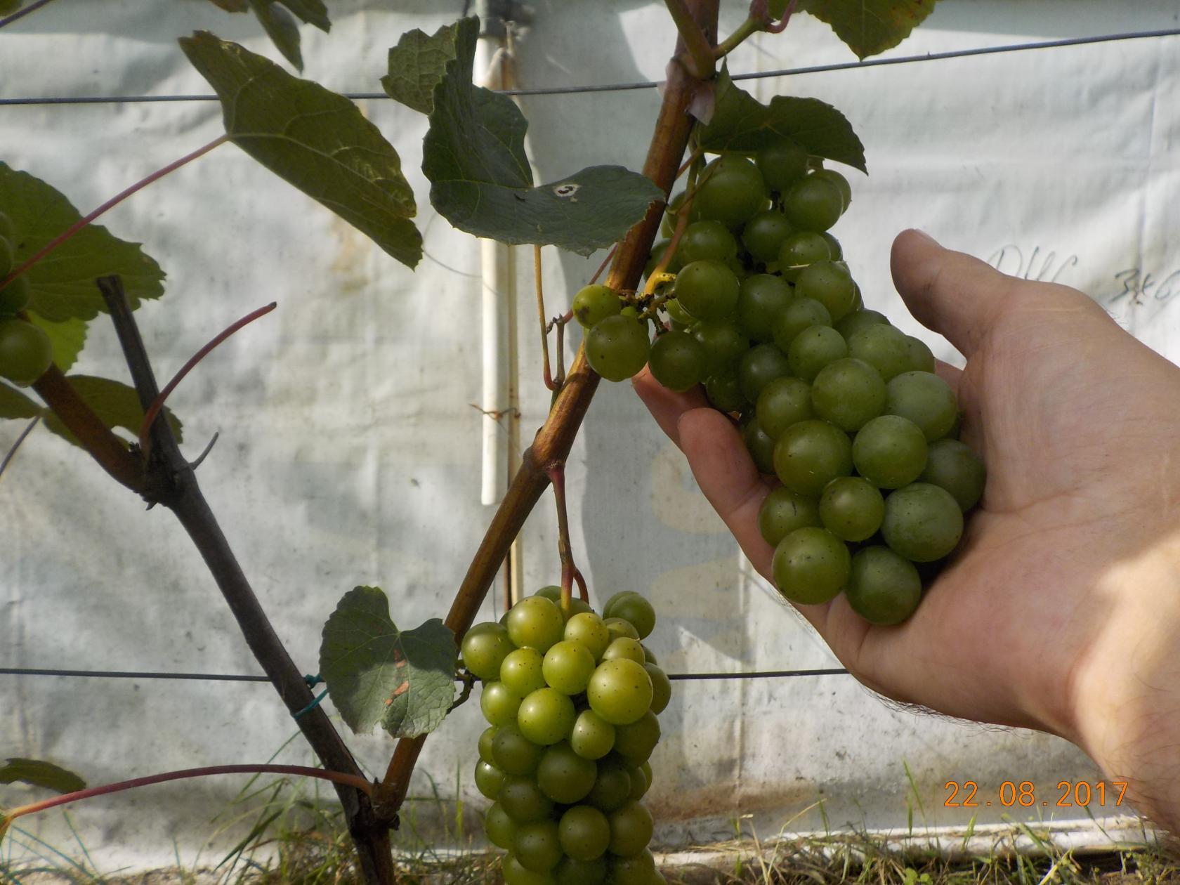 виноград дача Александр Крылатов фото