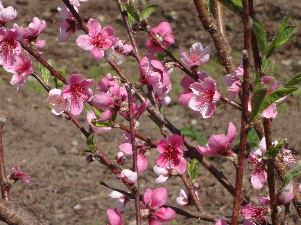 выращивание персика сорт культура