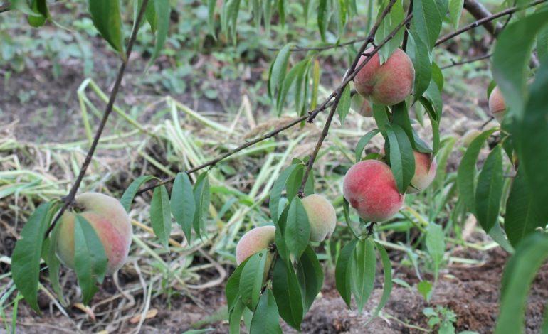 О выращивании персика в Хабаровском крае рассказал народный сортоиспытатель Сергей Чудопалов