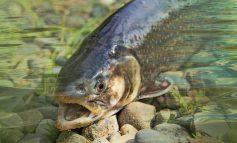 В Хабаровском крае стартовала лососёвая путина
