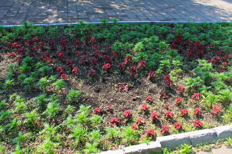 воруют цветы клумбы хабаровск фото