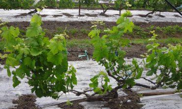 Летние зеленые операции в винограднике Приморья