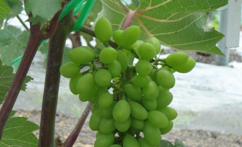 Встреча виноградарей Дальнего Востока