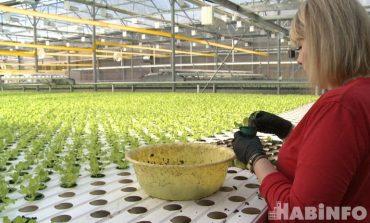 Ещё больше салата: в Хабаровске увеличивают производство тепличной зелени