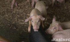 Спасённая свиноферма: личный опыт одного крестьянско-фермерского хозяйства