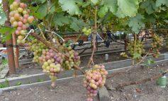 Увлеченный виноградарь Сергей Янчук