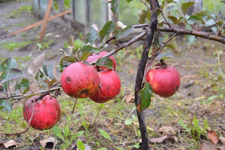 виноград уход осенью подготовка 7
