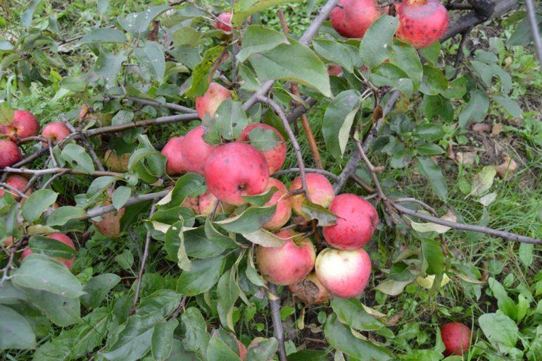 виноград уход осенью подготовка 9