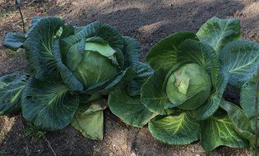 Выращивание капусты по-шалимовски