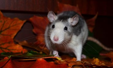 Гороскоп для Крысы на 2019 год: отношения, карьера, семья, финансы