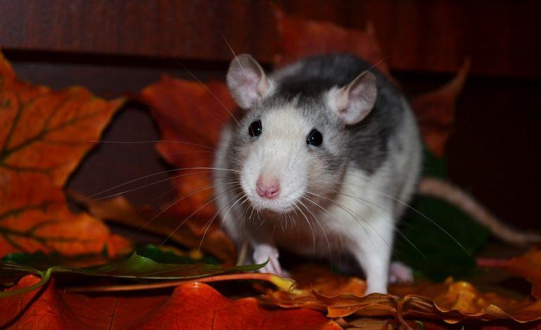 Гороскоп для Крысы на 2021 год: отношения, карьера, семья, финансы