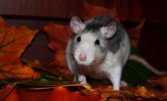 Гороскоп для Крысы на 2020 год: отношения, карьера, семья, финансы
