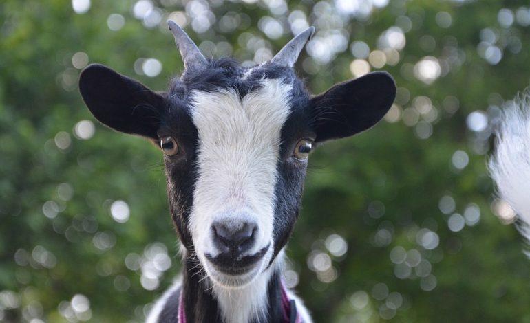 Гороскоп для Козы/Овцы на 2020 год: отношения, карьера, семья