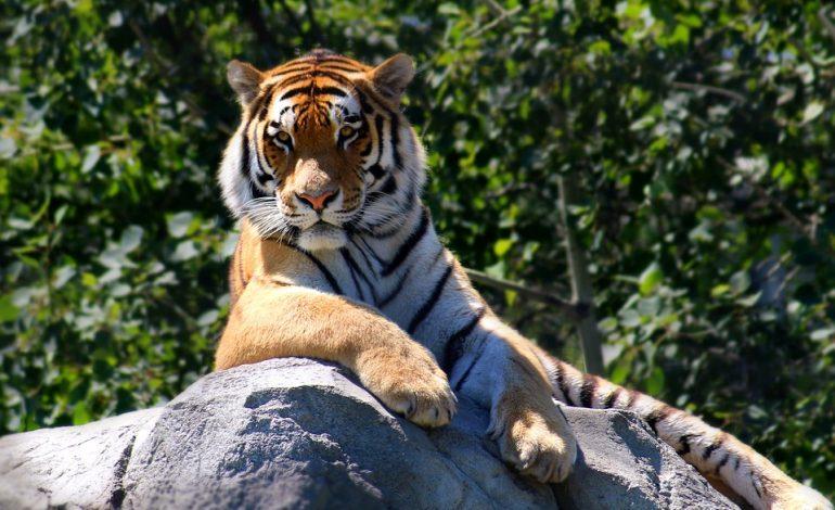 Гороскоп для Тигра на 2021 год: отношения, карьера, семья