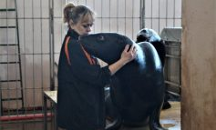 Гигантские морские львы: новое цирковое шоу в Хабаровске