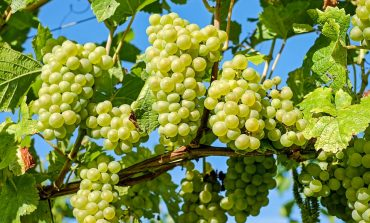 Виноград: выломка зеленых побегов на молодых кустах