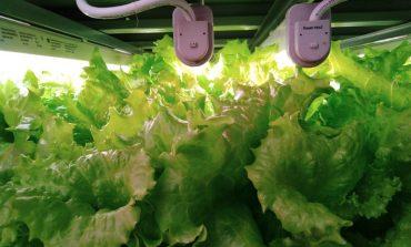 Свежая зелень по японским технологиям: как в Хабаровске выращивают салаты