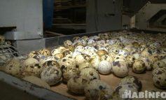 Путешествие хабаровской перепёлки: будут ли поставлять птицу в Китай