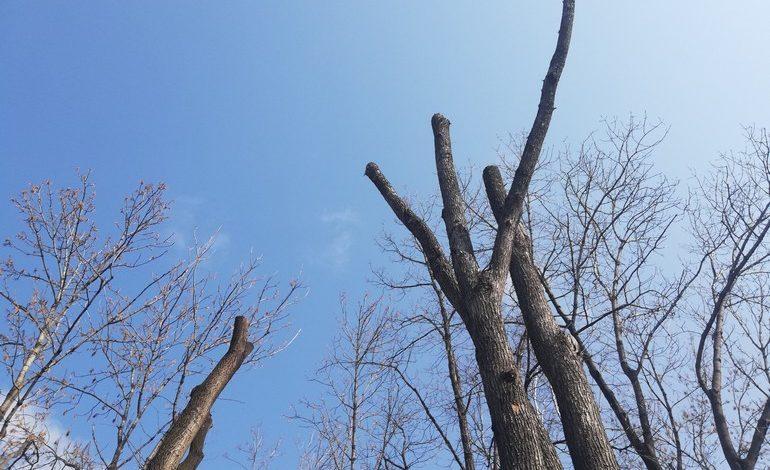 Рубить тополя:как добиться сноса старых деревьев