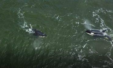 Узников «китовой тюрьмы» выкинули в море, - считают экологи