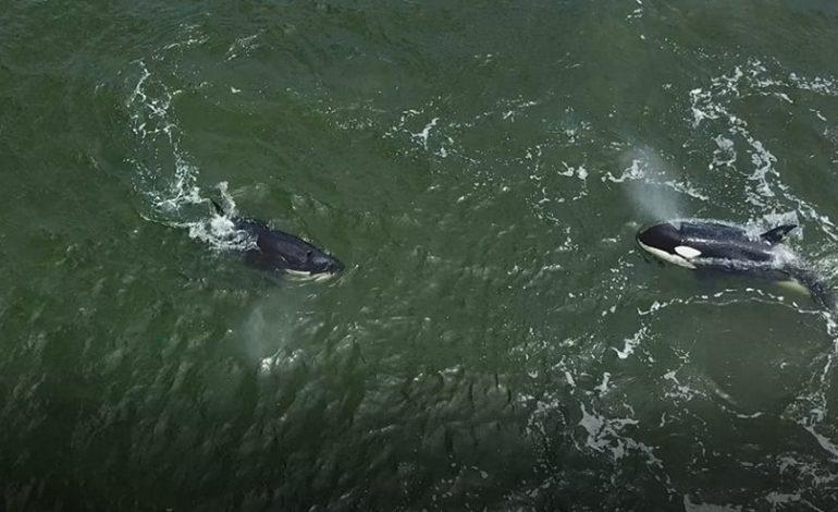 Узников «китовой тюрьмы» выкинули в море, – считают экологи