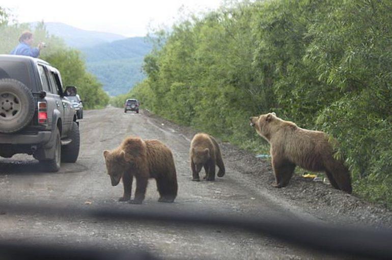 Медведи на тропе войны: непрошеные гости всё чаще выходят в «люди»