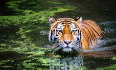 Амурских тигров на охраняемых территориях достаточно: «Заповедное Приамурье» подвело итоги 2020 года