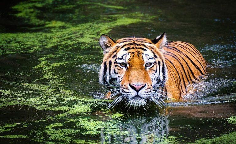 Полосатые под контролем: тигриное поголовье в регионе растёт