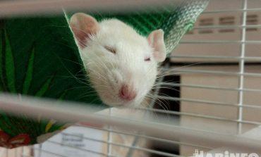 Крысоведение из первых уст: что надо знать, прежде чем купить крысу