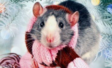 Крыса в подарок: покупаем символ Нового года