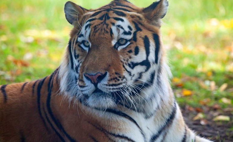 Амурский тигр – под защитой государства и Президента