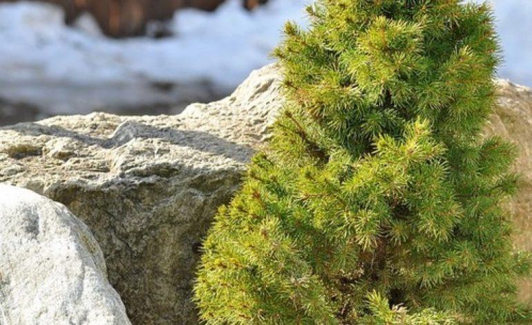 Как разбить хвойный сад на даче: советы дендролога