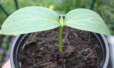Какие семена огурцов выбрать на дальневосточном рынке