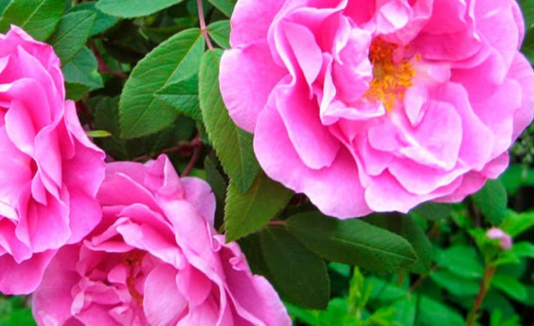 Канадские розы на дальневосточной земле