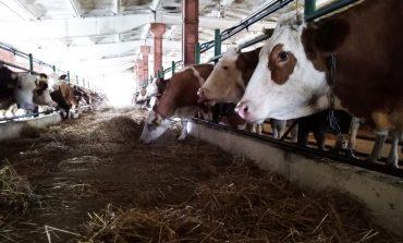 Зачем в Хабаровске выращивают швейцарских коров