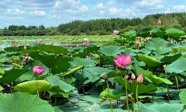 Лотосы в Хабаровске: «сезон охоты» на краснокнижные растения заканчивается