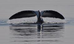 Первая победа: проект «китового туризма» Хабаровского края вошёл в топ-34 по стране