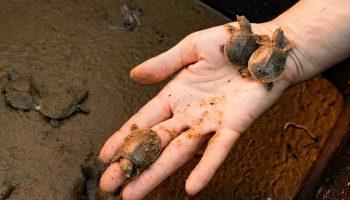 Как краснокнижных черепах в озеро Гасси выпускали