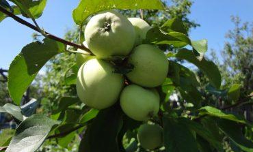 О саженцах и яблоках разговор со специалистом