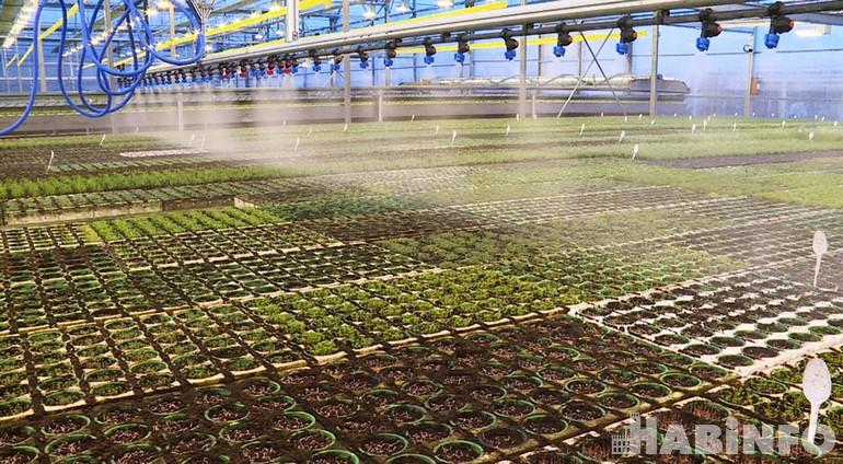 Амарант, пак-чой и базилик: как в крае выращивают зелень