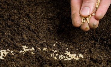 Если озимые посевы прорастут раньше