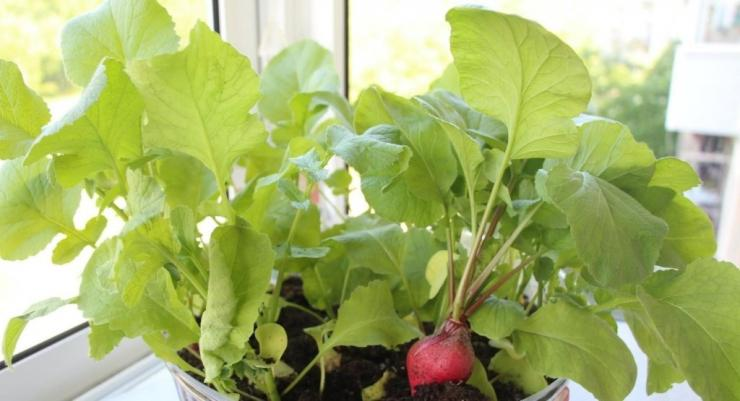 Что можно выращивать дома на подоконнике