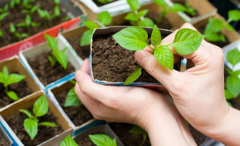 Расчёт сроков посева семян на рассаду