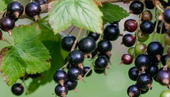 Вопросы о чёрной смородине