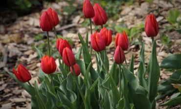 Тюльпаны: как продлить цветение и другие вопросы о цветах