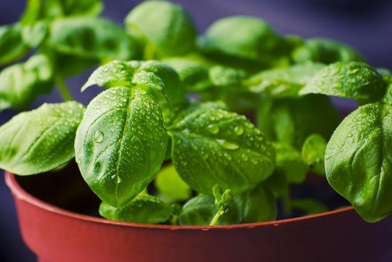 Растения с огорода, которые заменят лекарства